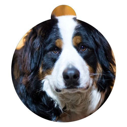 Bernese Mountain Dog  Picture ID tag